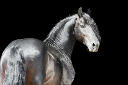 friesian: Black horse isolated on the black background