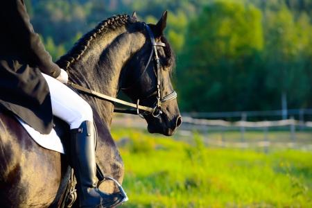 caballos negros: El montar en el caballo fris�n negro en la puesta del sol Foto de archivo