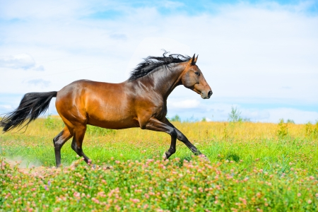 Bay horse runs gallop on the flowers meadow on the sky background Stock Photo