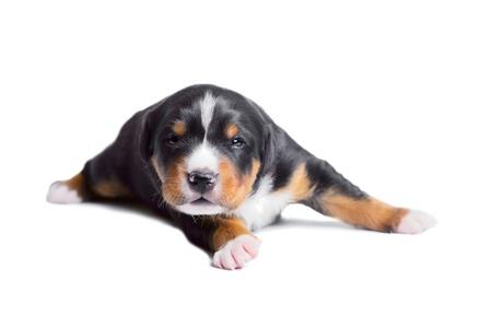 appenzeller: two-weeks old puppy, sennenhund appenzeller tricolor