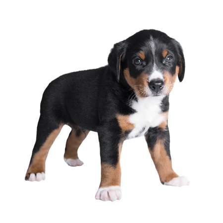 berner: one month old puppy, sennenhund appenzeller tricolor young dog Stock Photo