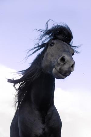 friesian: Black Friesian horse move hair on the sky background