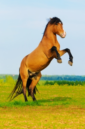 rearing: bay horse rearing up on the meadow in summer time