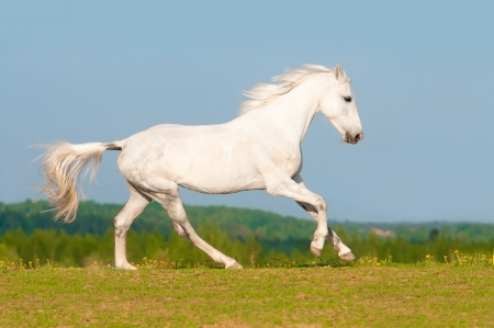 White Orlov trotter horse runs gallop on the sky background in summer 写真素材