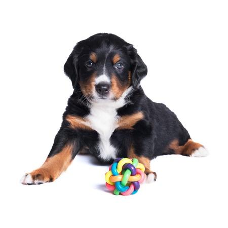 sennenhund: cucciolo Bovaro, 5 settimane, isolato su bianco
