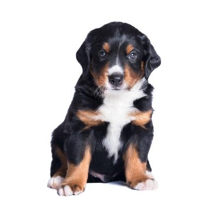 sennenhund: puppy appenzeller sennenhund, 5 weeks, isolated on white