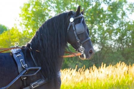 Black Friesian horse in harness, sunset 写真素材
