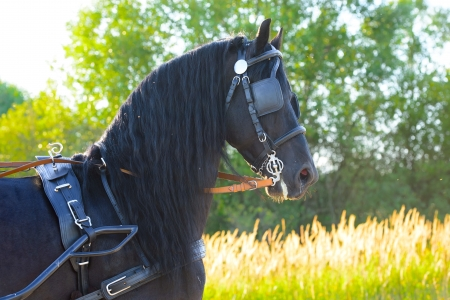 Black Friesian horse in harness, sunset Stock Photo