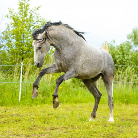 White andalusian horse  Pura Raza Espanola  playing in summer  photo