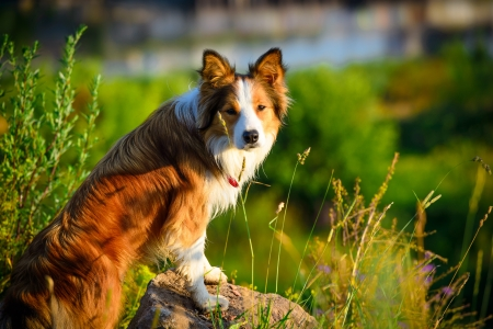 Red dog border collie in the morning photo