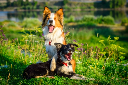 Two dogs border collie in the morning photo