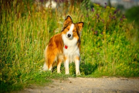 Red dog border collie on the green background photo