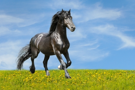 Black horse runs trot on the meadow