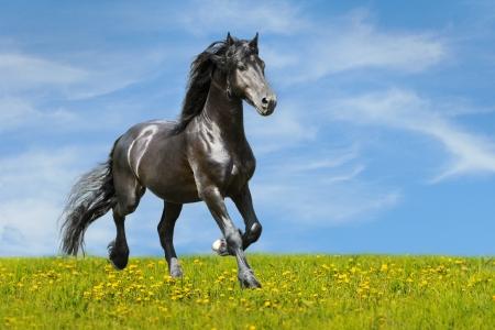 Cheval noir court au trot sur la prairie