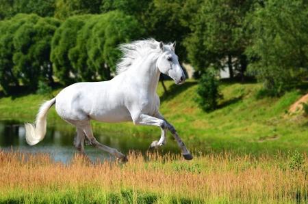 Biały koń andaluzyjski (Pura Raza Espanola) biegnie galopem w czasie letnim Zdjęcie Seryjne - 15713220