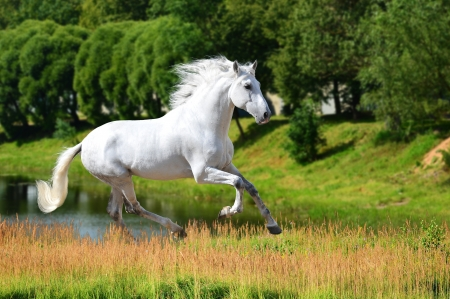 manes: White Andalusian horse (Pura Raza Espanola) runs gallop in summer time
