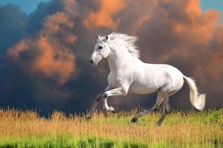 Biały koń andaluzyjski (Pura Raza Espanola) biegnie galopem w czasie letnim