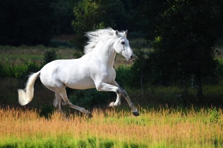 жеребец: Белый Андалузский лошадь (Pura Раза Эспаньола) работает галопом в летнее время