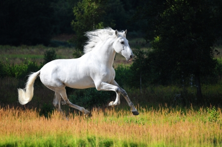 galloping: White Andalusian horse (Pura Raza Espanola) runs gallop in summer time