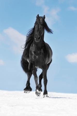 friesian: Black Friesian horse runs trot on the meadow in the winter