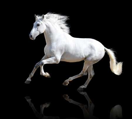 black and white farm: White Andalusian horse isolated on the black