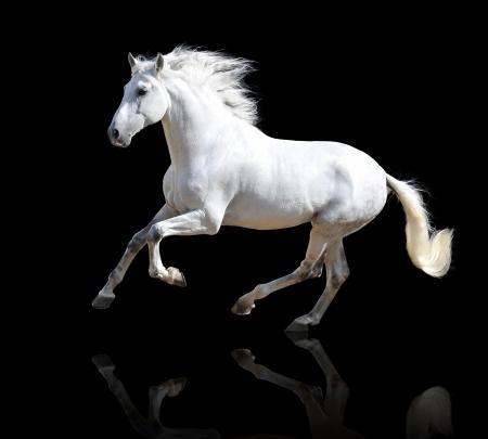 Witte Andalusische paard geïsoleerd op de zwarte