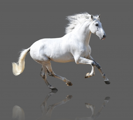 White Andalusian horse isolated on the gray photo
