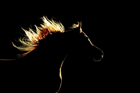 horse silhouette: arabian horse silhouette on the dark background Stock Photo