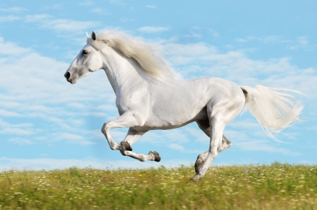 white horse: White horse runs gallop on the meadow on sky background