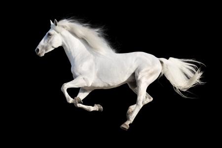 caballos negros: Blanco caballo andaluz aislado en el negro Foto de archivo