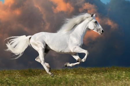 Weißes Pferd läuft Galopp auf den dunklen Himmel im Hintergrund