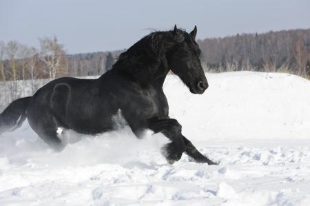 Black Friesian horse runs gallop in winter