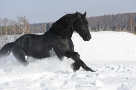 friesian: Black Friesian horse runs gallop in winter