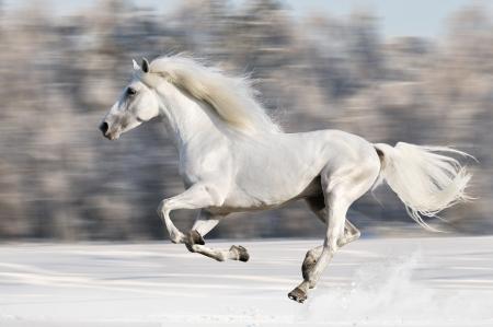 White horse runs gallop in winter  写真素材