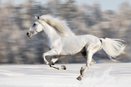 horse in snow: White horse runs gallop in winter  Stock Photo