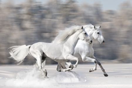 Two white horses in winter run gallop fast photo