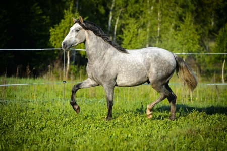 andalusian: White horse runs trot on the meadow in summer