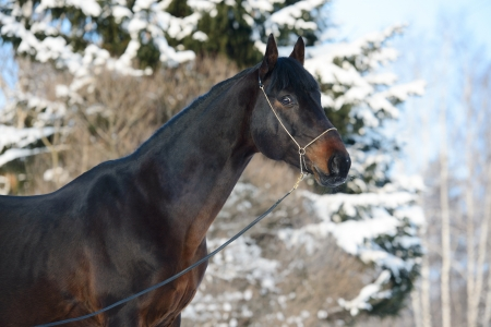 january 1: Bay horse portrait in winter time