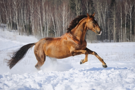 warmblood: Golden red horse runs gallop in winter Stock Photo