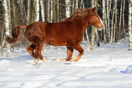 draft horse: Red heavy horse runs gallop in winter time Stock Photo