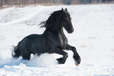 friesian: Black Friesian horse runs gallop in winter