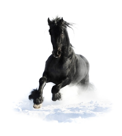 friesian: Black horse runs gallop in winter on the white