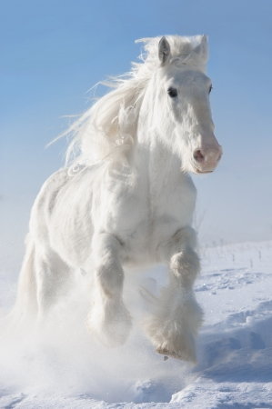 White horse runs gallop in winter on sky background Stock Photo