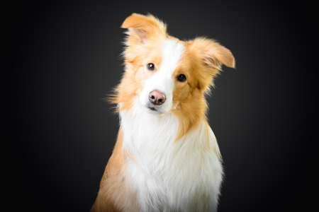 Smart red border collie looking at you photo
