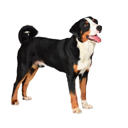 appenzeller: Sennenhund Appenzeller tricolor dog isolated on white, in studio