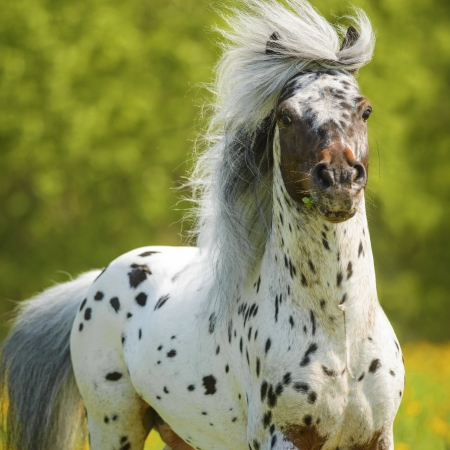 Appaloosa stallion playing on the meadow in summer time