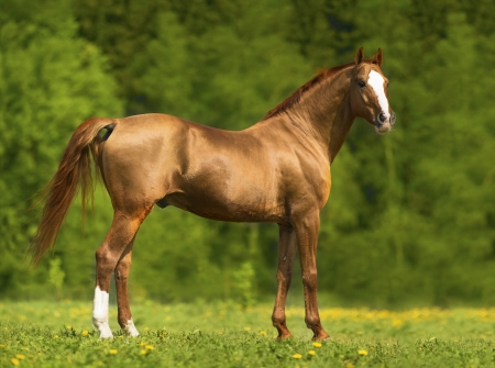 don: Portrait of the golden Don horse in summer time Stock Photo
