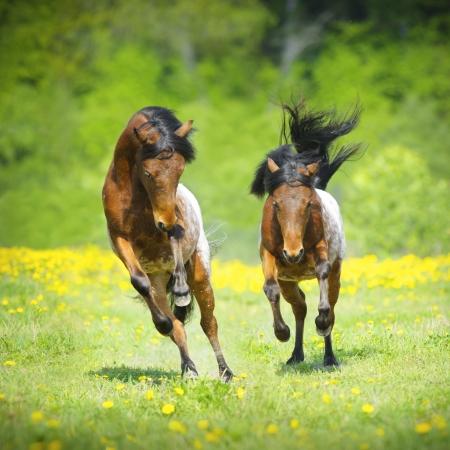 Two little appaloosa foals plaing on the meadow in summer