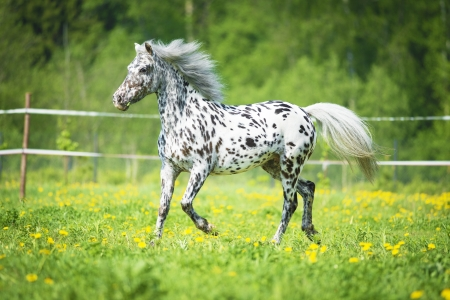 Appaloosa horse runs trot on the meadow in summer time