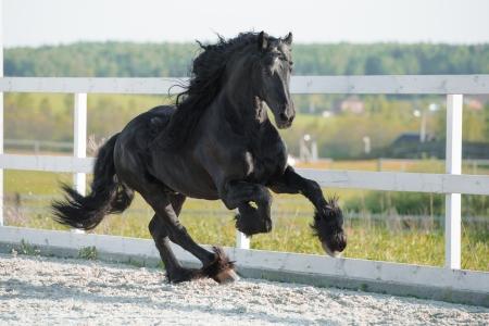 friesian: Black Friesian horse runs gallop in summer  Stock Photo